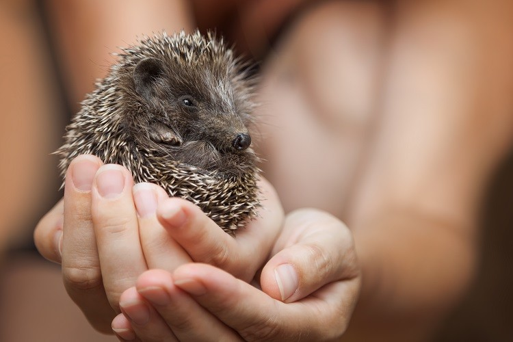 Emotional Support Hadgehog