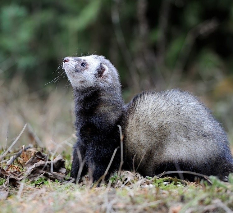 emotional support polecat