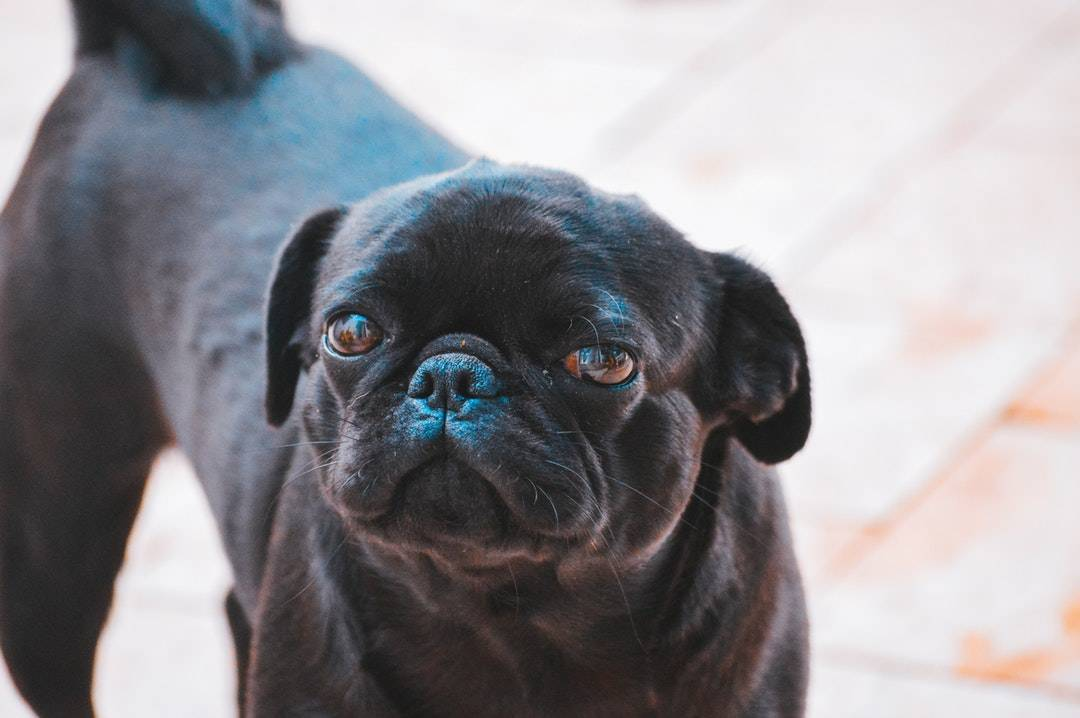 emotional support animal letter in Westvale