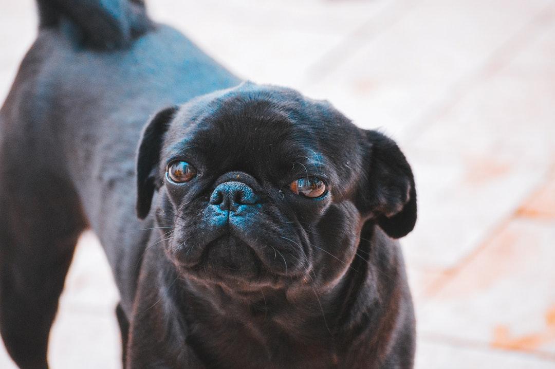 emotional support animal letter in Algonquin