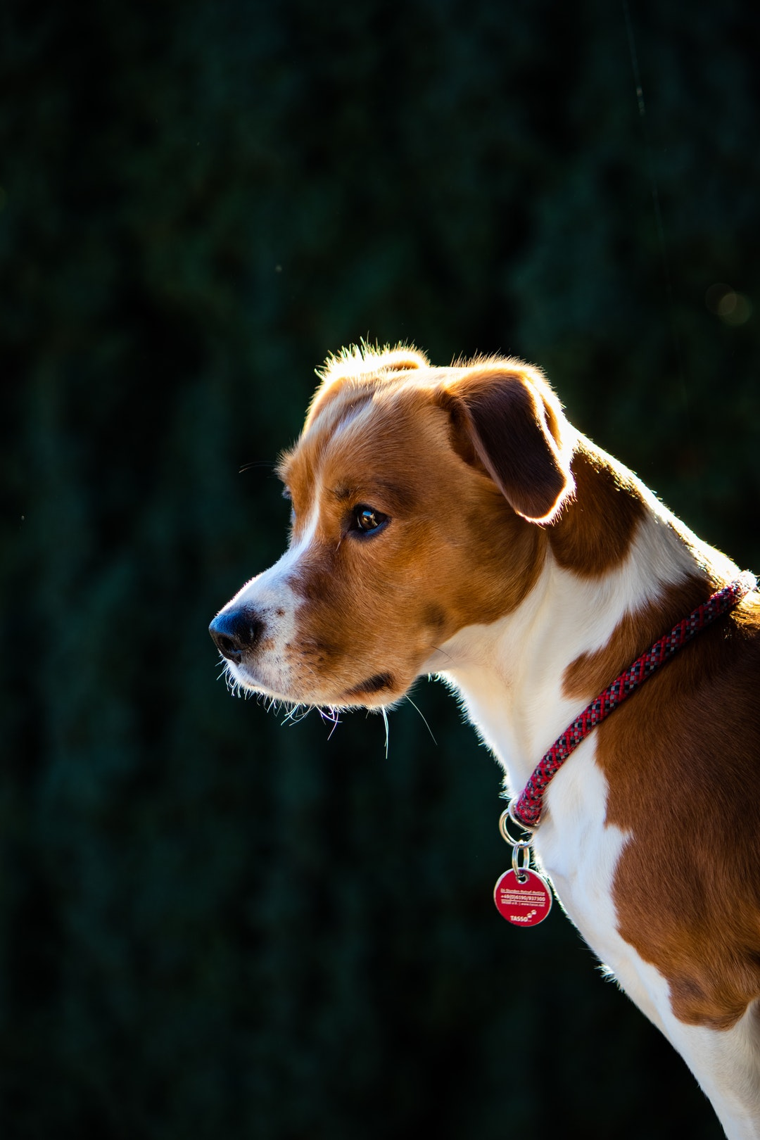 emotional support animal letter in Bartlett