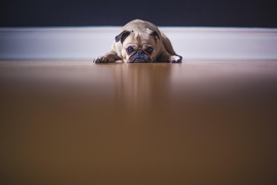 emotional support animal Belgrade