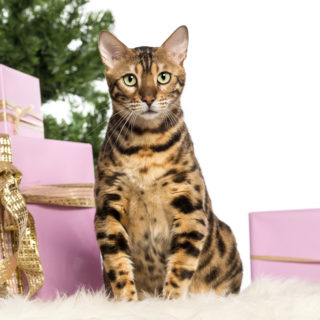 Bengal ESA Cat