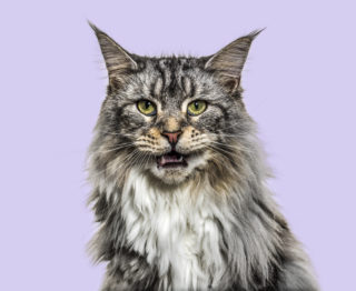 Maine Coon ESA Cat