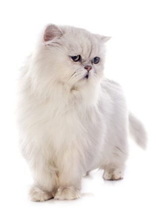 Persian ESA Cat